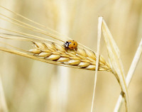 Photo showing Barley