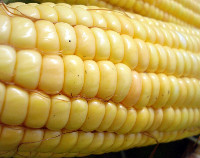 Photograph of Maize