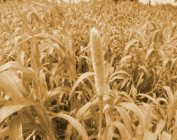 Photograph of Sorghum-kharif