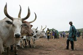 Photo: Livestock market in Mali